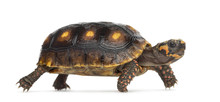 Red-footed Tortoises (1,5 Year...
