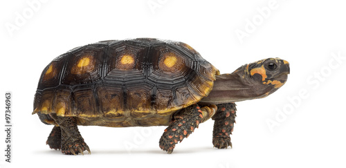Poster Tortue Red-footed tortoises (1,5 years old), Chelonoidis carbonaria, in
