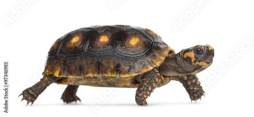Tuinposter Schildpad Red-footed tortoises (1,5 years old), Chelonoidis carbonaria, in