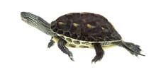 European Pond Turtle (1 Year Old), Emys Orbicularis, Swimming In