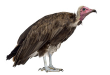 Hooded Vulture - Necrosyrtes Monachus (11 Years Old) In Front Of