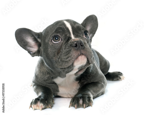 Foto op Canvas Franse bulldog puppy french bulldog