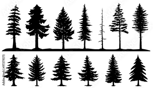 Fotografiet conifer tree silhouettes