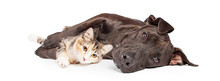 Pit Bull Dog And Kitten Cuddling