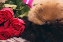 Funny Pomeranian Spitz Puppy. Pomeranian Dog. Little Puppy