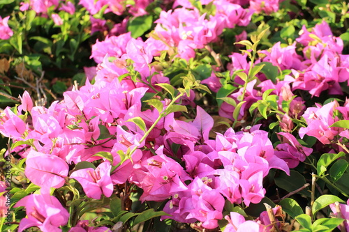 Foto op Canvas Azalea Bougainvillea flower in the garden