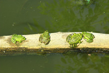 Four Frogs Sit In Row