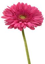 Pink Gerbera Flower Head