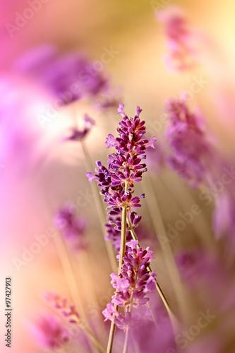 Fototapety, obrazy: Lavender flower