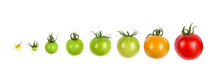 Tomato Growth Evolution Progress Set Isolated On White Background