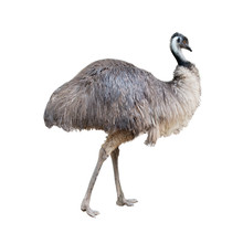 Emu Isolated On White Background