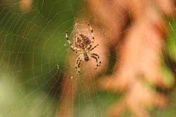 sous l'araignée, en attente d'une proie