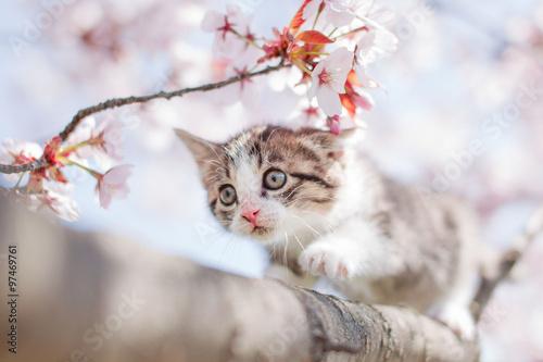 fototapeta na szkło 子猫と桜