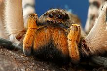 Portrait Of Dangerous Creepy Tarantula