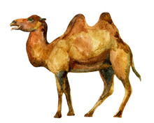 Watercolor Camel