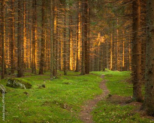 Fotobehang Weg in bos Spruce forest and path golden sunset light