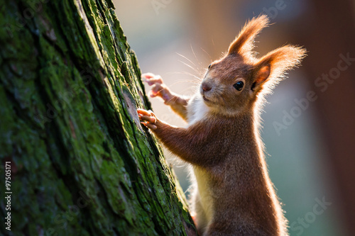 Detail of cute red squirrel on the tree trunk