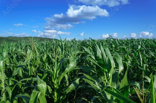 Fotografia cornfield