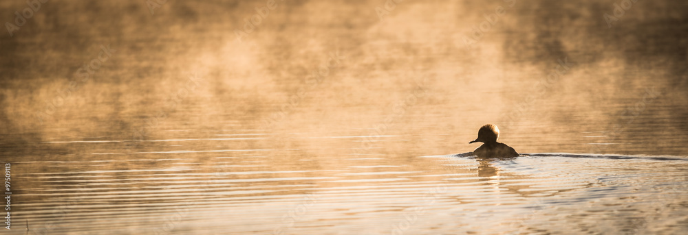 Fototapeta Lone duck paddles in sunlit glowing mist.  Warm water mixing with chilled November morning air.