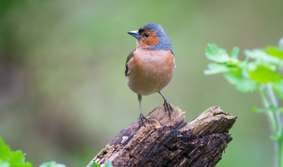 Chaffinch on the Perch