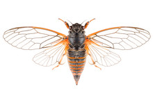 The Cicadetta Montana Or New F...