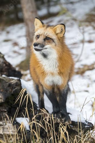 In de dag Panter Red Fox