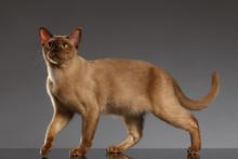 Closeup Burmese Cat  Stands On Gray