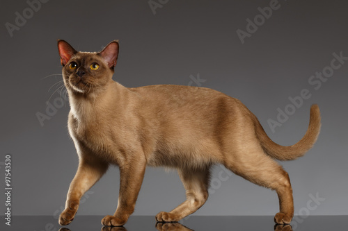 Foto Closeup Burmese Cat  Stands on Gray