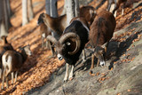 Fototapeta Zwierzęta - Mufflon, Mouflon, Ovis orientalis