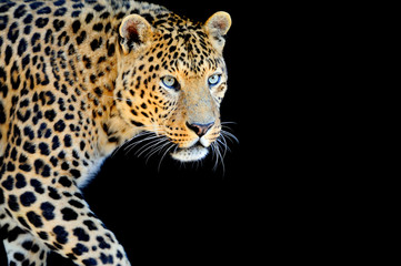Fototapeta Pantera Leopard portrait on dark background