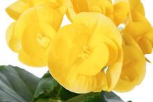 Yellow Begonia Flower