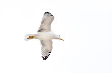 Seagull Flying, Gliding Or Soaring Isolated On White