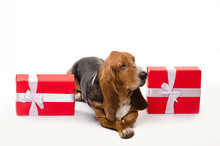 Happy Dog Basset Hound With Christmas Or Birthday Gifts