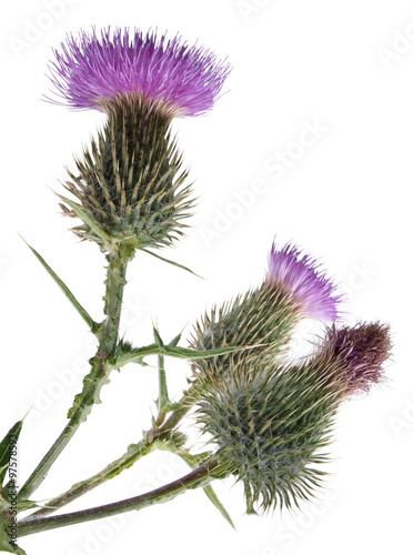 Thistle flower on white background buy this stock photo and thistle flower on white background mightylinksfo