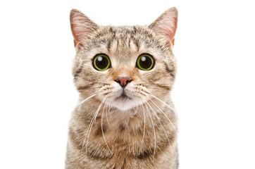 Portret iznenađene mačke Scottish Straight