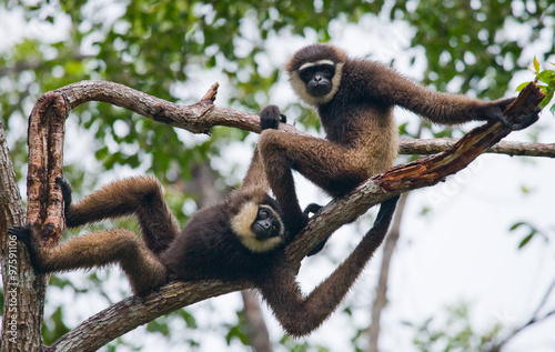 Two Gibbon sitting on the tree фототапет