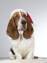 A Basset Hound With A Christmas Hat.