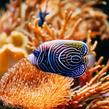 Pomacanthus Navarchus Blue Ang...