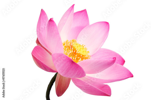 Garden Poster Lotus flower beautiful lotus flower isolated on white background