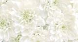 White chrysanthemum flowers.High key soft images..