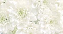 White Chrysanthemum Flowers.Hi...