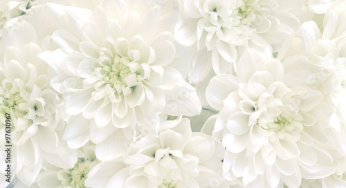 White chrysanthemum flowers.High key soft images..