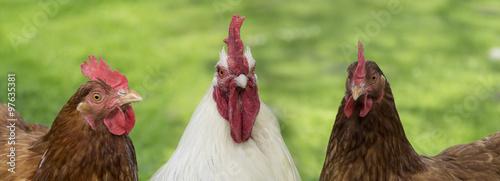 Biały kogut i dwie kury