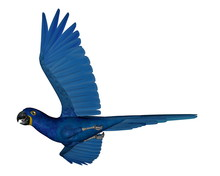 Hyacinth Macaw, Parrot, Flying...