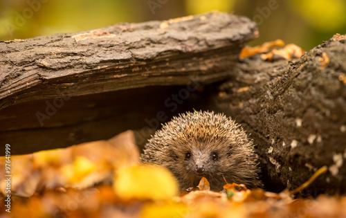 Obraz Mały śliczny jeż idący przez las w poszukiwaniu jedzenia - fototapety do salonu