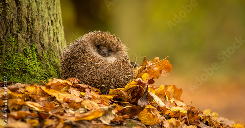 A cute little wild hedgehog curled up in a pile of golden autumn leaves Tableau sur Toile