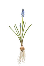 Blue Grape Hyacinth  With Bulb On Vintage Background