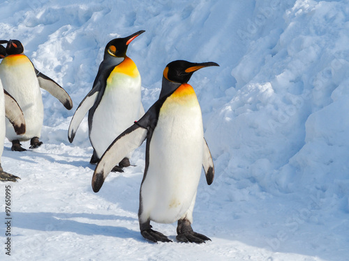 Emperor penguin walk on snow