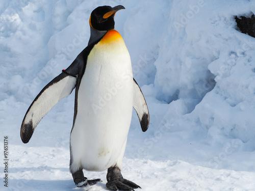 Fotografía Emperor penguin walk on snow