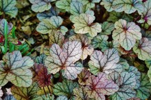 Purple And Green Leaves Of The Heuchera Silver Scrolls Coral Bells Plant